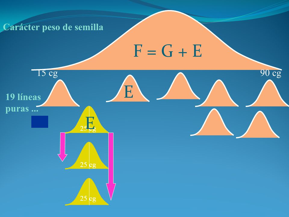 F = G + E E E Carácter peso de semilla 15 cg 90 cg 19 líneas puras ...