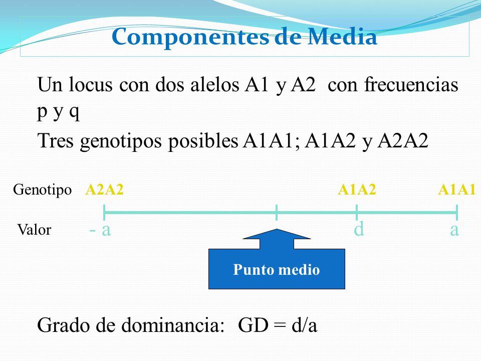 Componentes de Media Un locus con dos alelos A1 y A2 con frecuencias p y q. Tres genotipos posibles A1A1; A1A2 y A2A2.