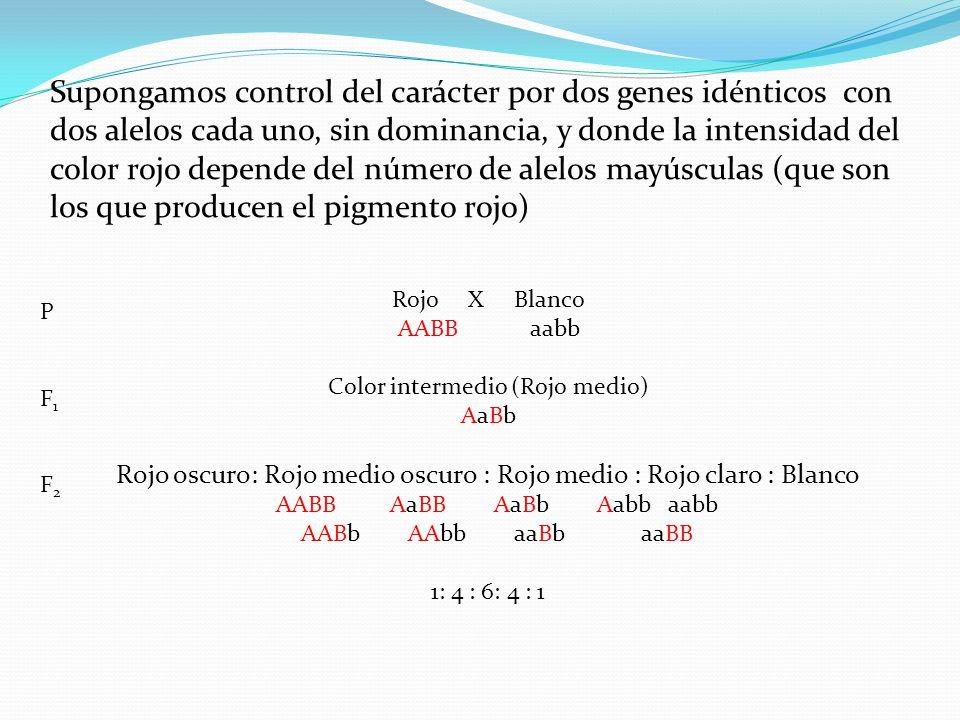 Supongamos control del carácter por dos genes idénticos con dos alelos cada uno, sin dominancia, y donde la intensidad del color rojo depende del número de alelos mayúsculas (que son los que producen el pigmento rojo)