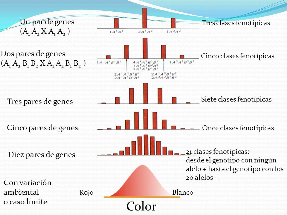 Color Un par de genes (A1 A2 X A1 A2 ) Dos pares de genes