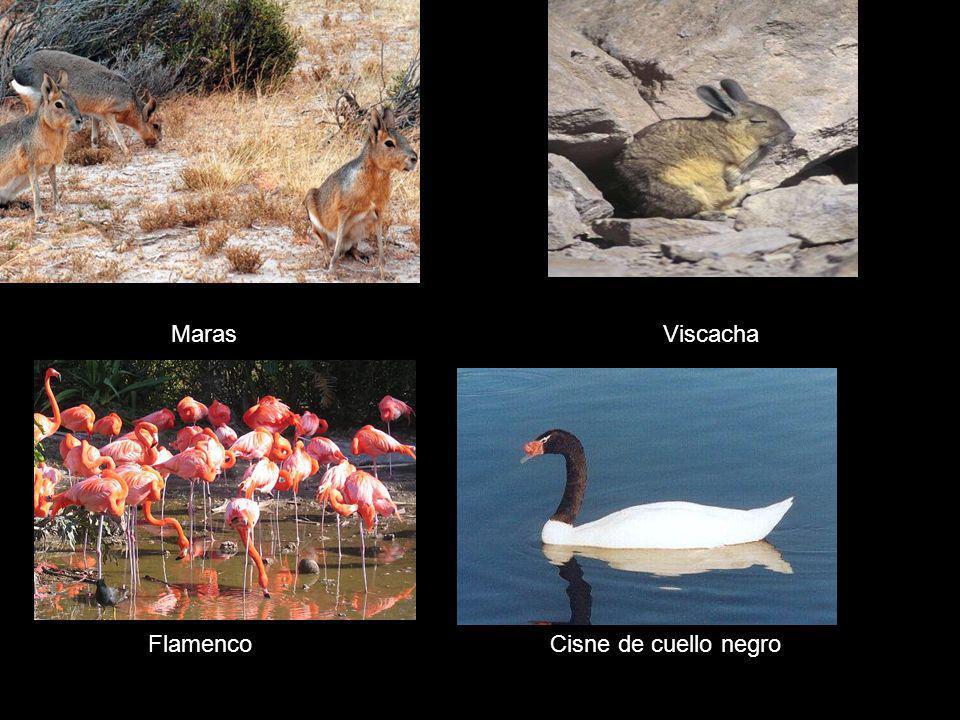 Maras Viscacha Flamenco Cisne de cuello negro
