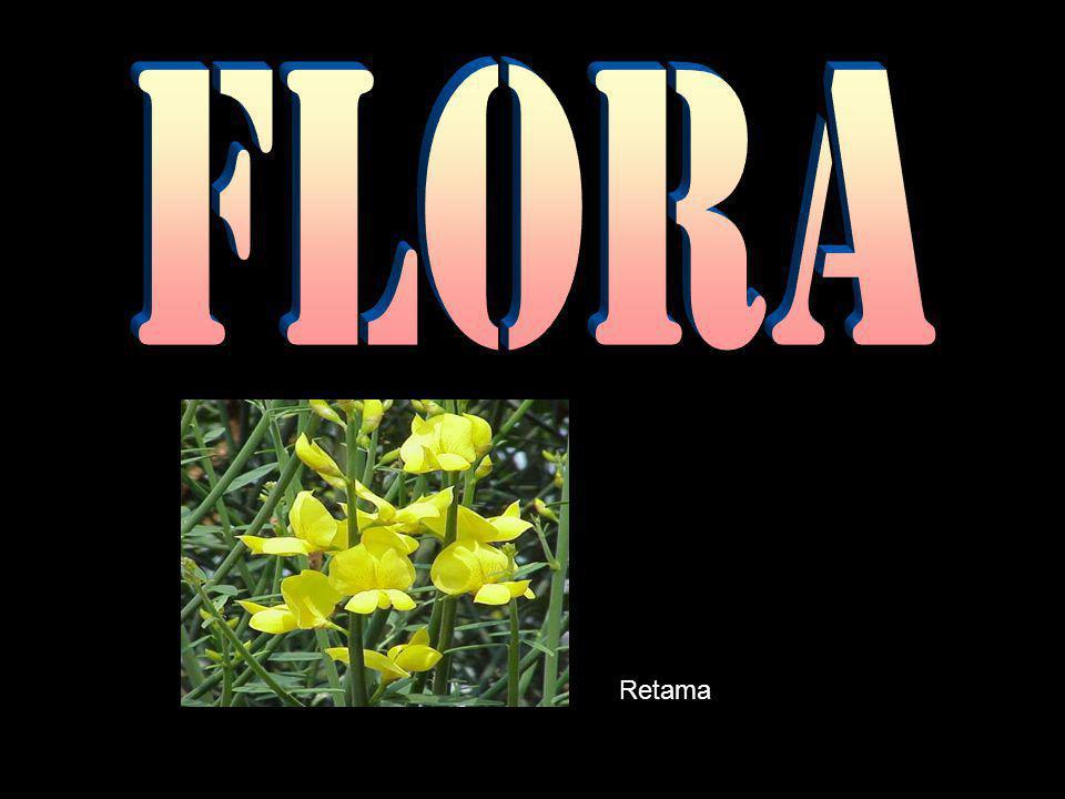 Flora Retama
