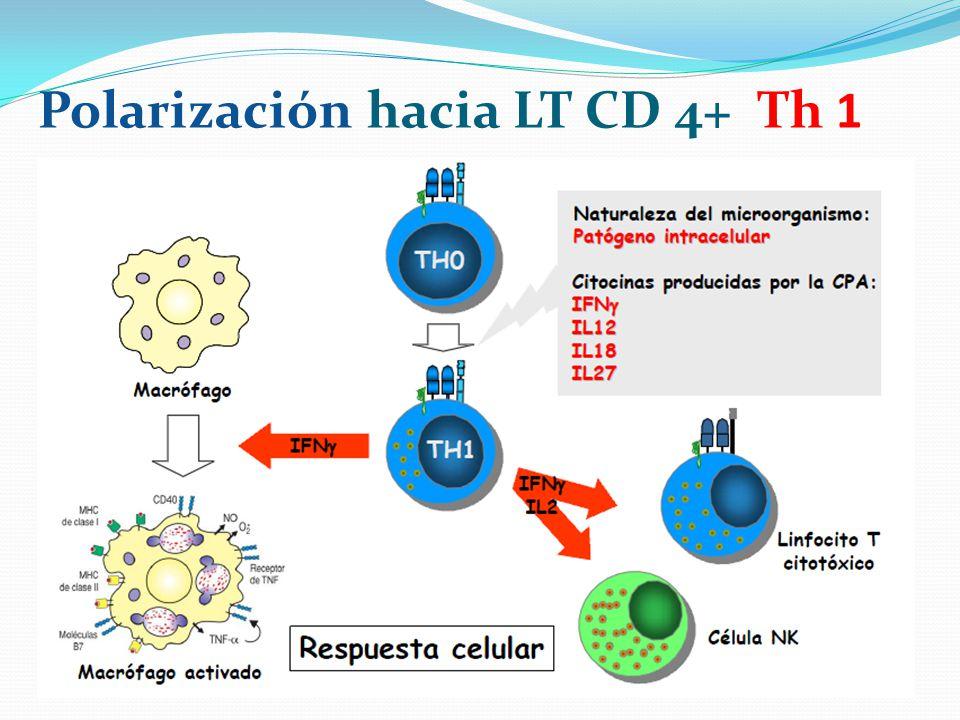 Polarización hacia LT CD 4+ Th 1