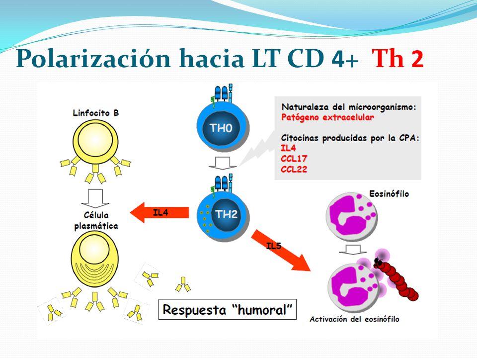 Polarización hacia LT CD 4+ Th 2