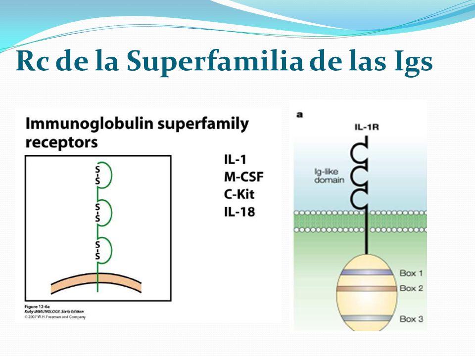 Rc de la Superfamilia de las Igs