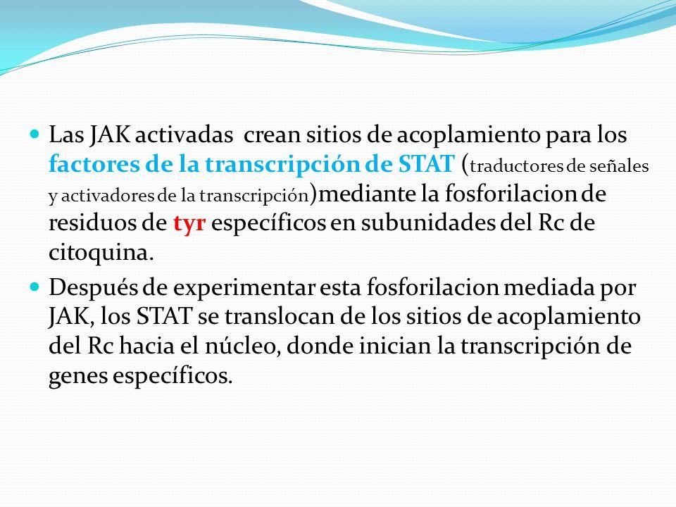 Las JAK activadas crean sitios de acoplamiento para los factores de la transcripción de STAT (traductores de señales y activadores de la transcripción)mediante la fosforilacion de residuos de tyr específicos en subunidades del Rc de citoquina.
