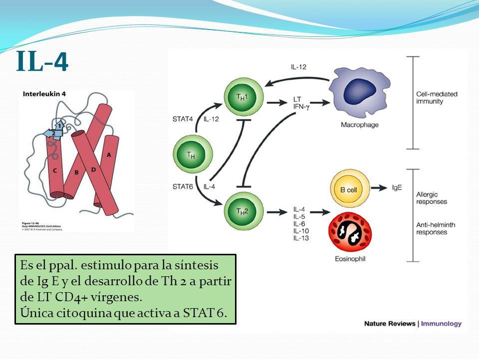 IL-4 Es el ppal. estimulo para la síntesis de Ig E y el desarrollo de Th 2 a partir de LT CD4+ vírgenes.