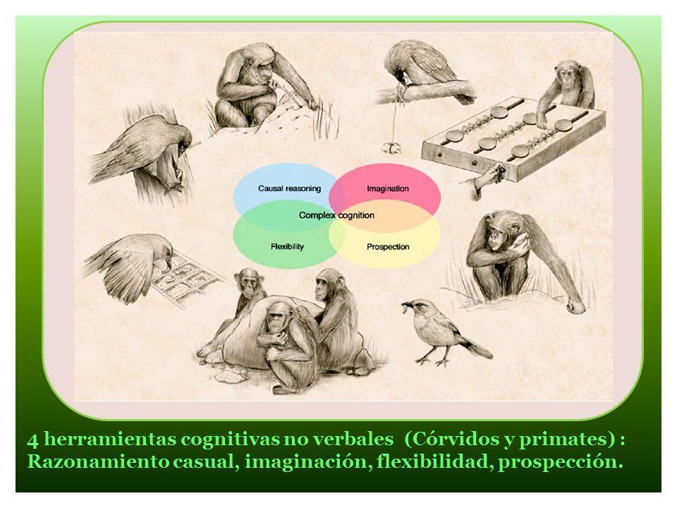 4 herramientas cognitivas no verbales (Córvidos y primates) :