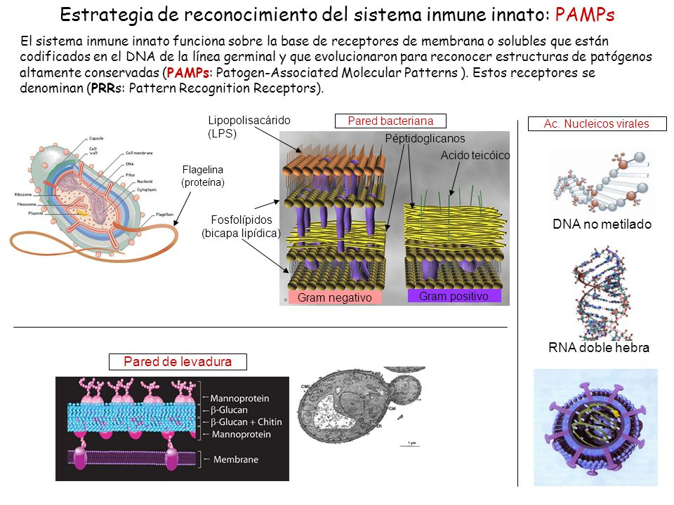 Estrategia de reconocimiento del sistema inmune innato: PAMPs