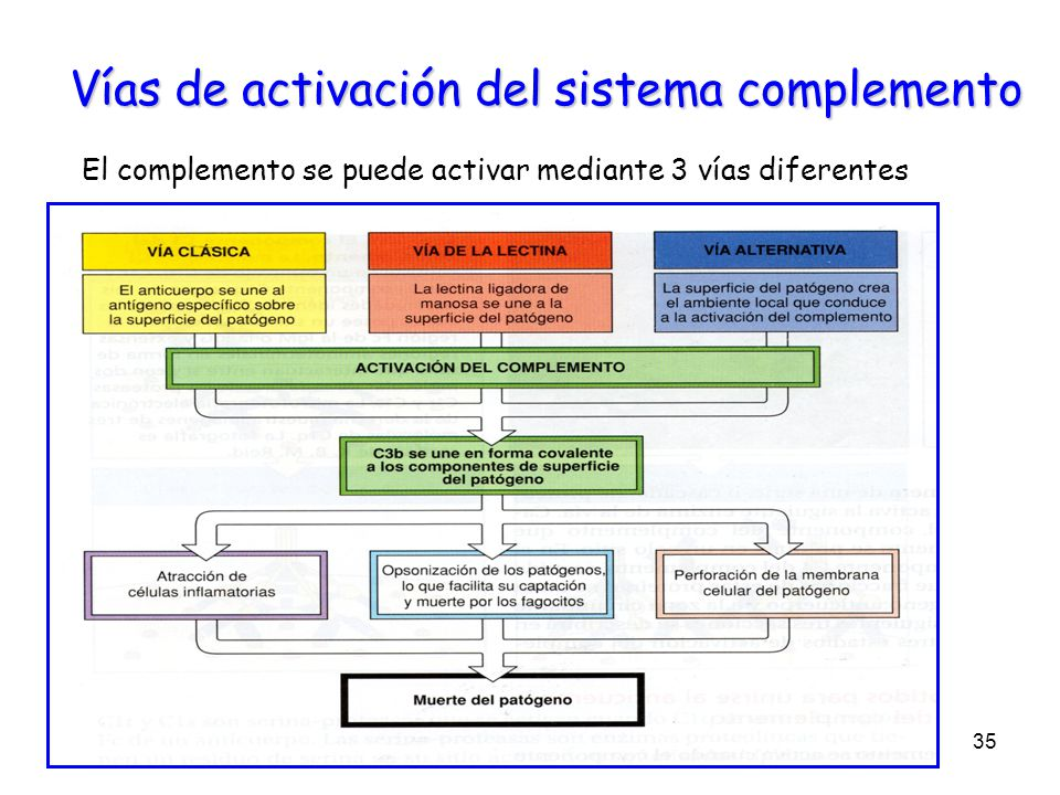 Vías de activación del sistema complemento