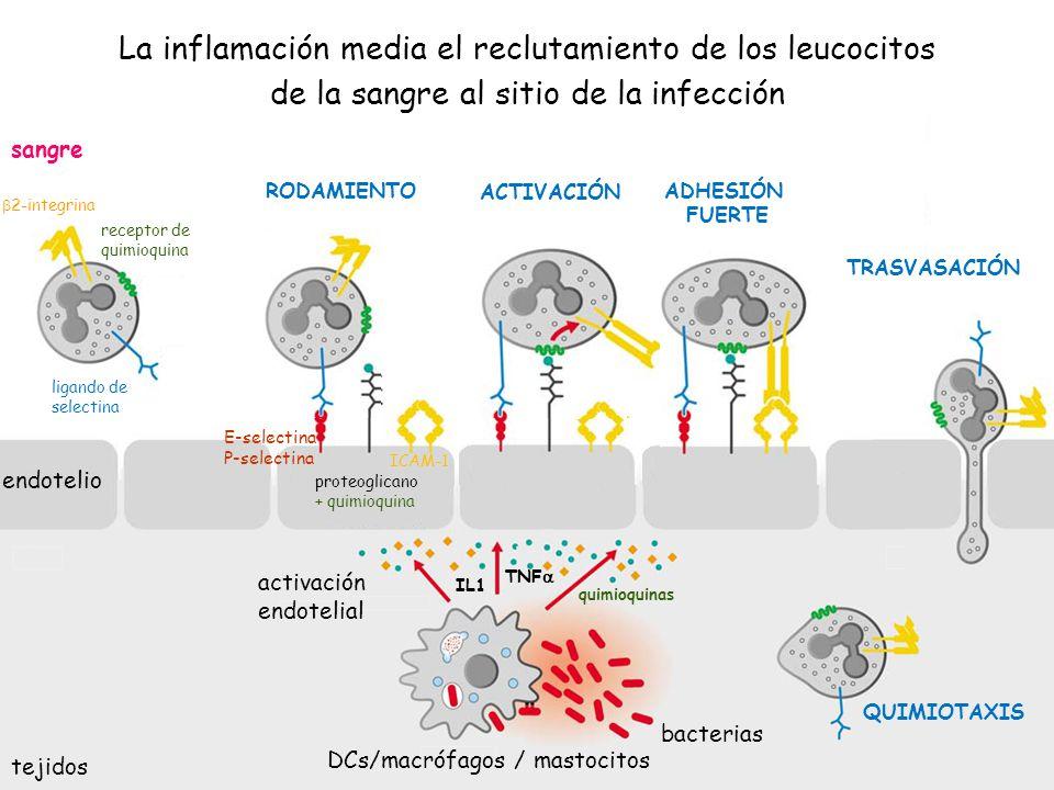 La inflamación media el reclutamiento de los leucocitos