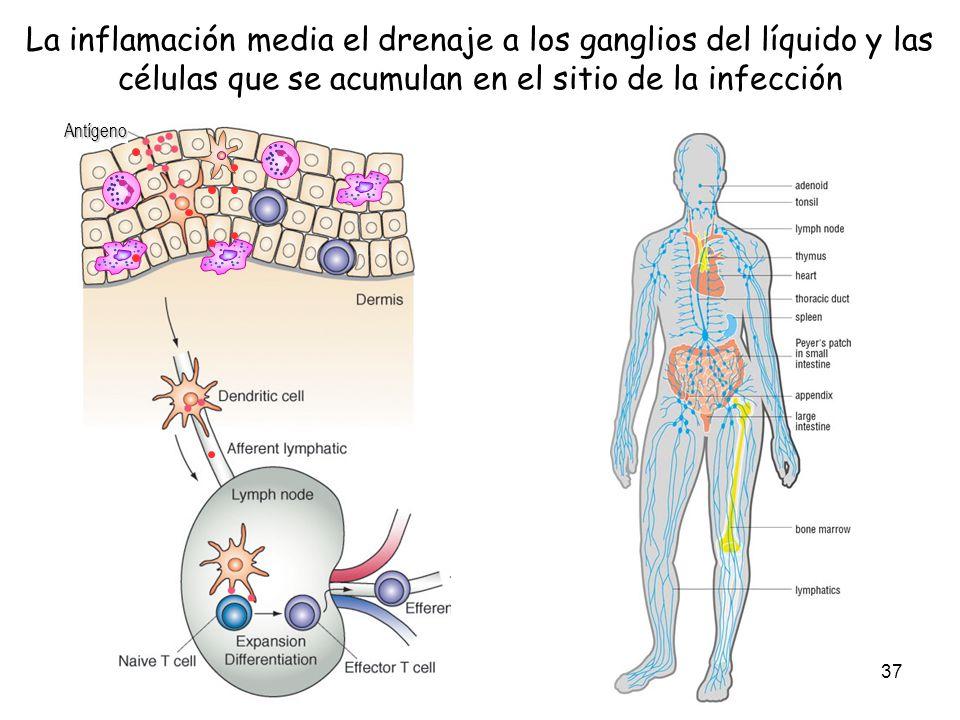 La inflamación media el drenaje a los ganglios del líquido y las células que se acumulan en el sitio de la infección
