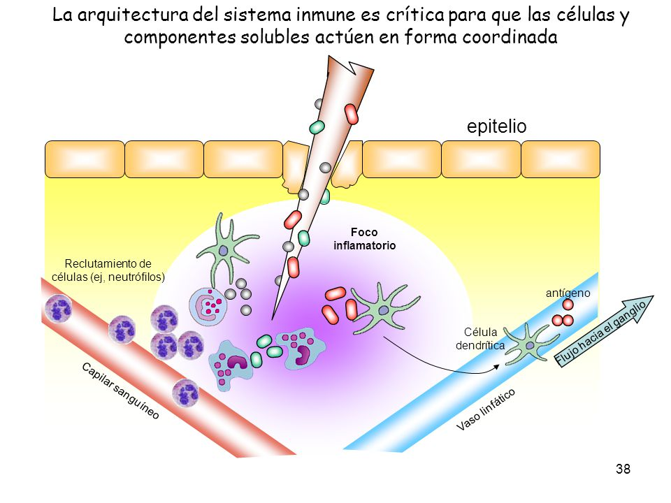 Reclutamiento de células (ej, neutrófilos)
