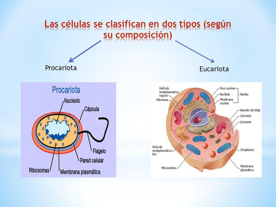 Las células se clasifican en dos tipos (según su composición)