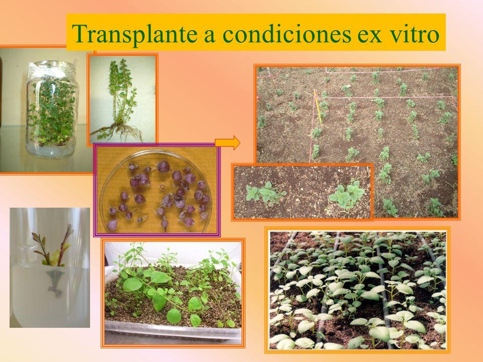 Transplante a condiciones ex vitro