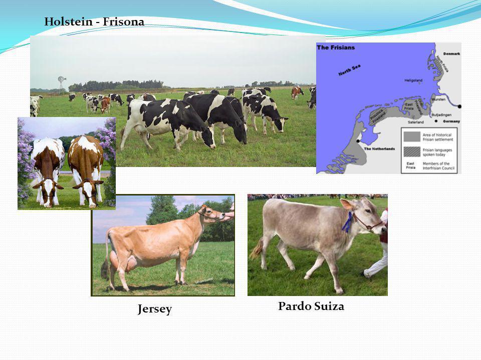 Holstein - Frisona Jersey Pardo Suiza