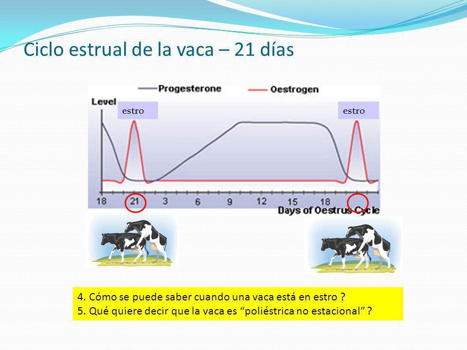 Ciclo estrual de la vaca – 21 días