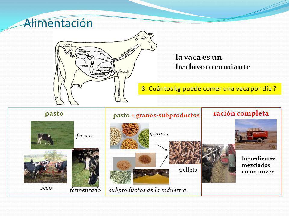 Alimentación la vaca es un herbívoro rumiante pasto ración completa