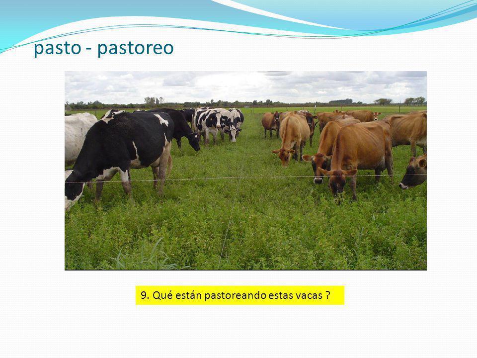 pasto - pastoreo 9. Qué están pastoreando estas vacas