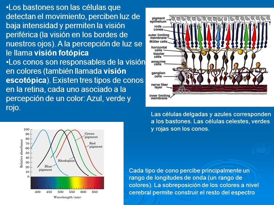 Los bastones son las células que detectan el movimiento, perciben luz de baja intensidad y permiten la visión periférica (la visión en los bordes de nuestros ojos). A la percepción de luz se le llama visión fotópica