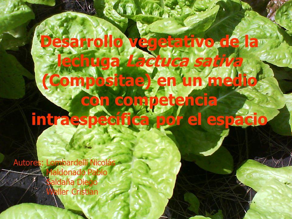 Desarrollo vegetativo de la lechuga Lactuca sativa (Compositae) en un medio con competencia intraespecífica por el espacio