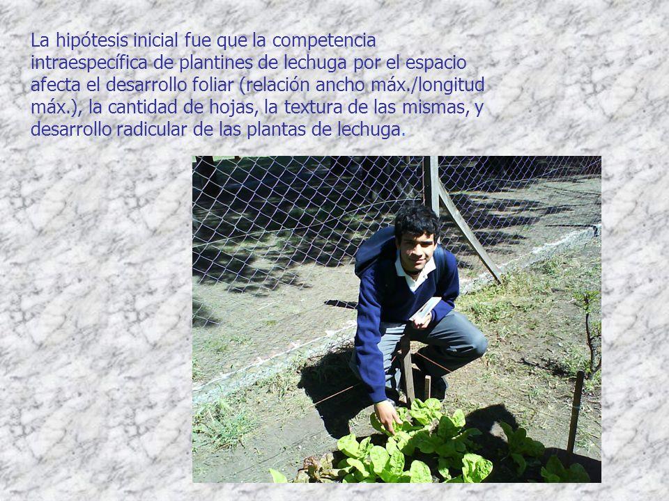 La hipótesis inicial fue que la competencia intraespecífica de plantines de lechuga por el espacio afecta el desarrollo foliar (relación ancho máx./longitud máx.), la cantidad de hojas, la textura de las mismas, y desarrollo radicular de las plantas de lechuga.