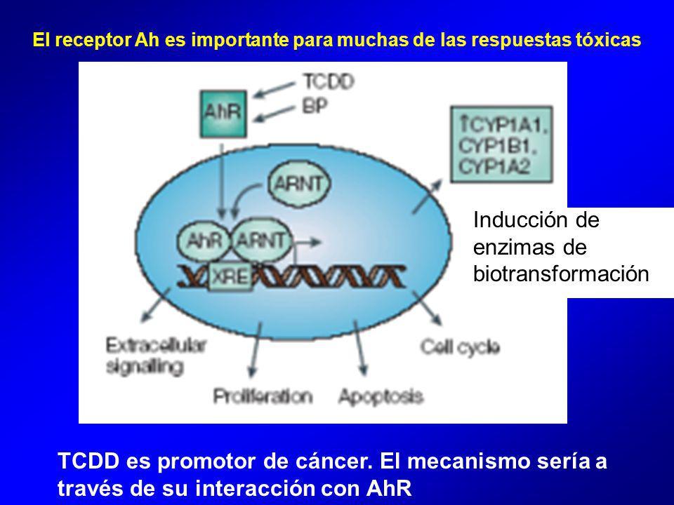 El receptor Ah es importante para muchas de las respuestas tóxicas