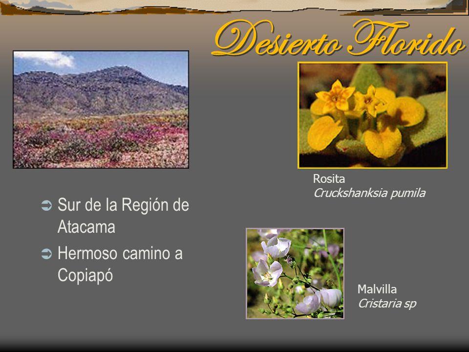 Desierto Florido Sur de la Región de Atacama Hermoso camino a Copiapó