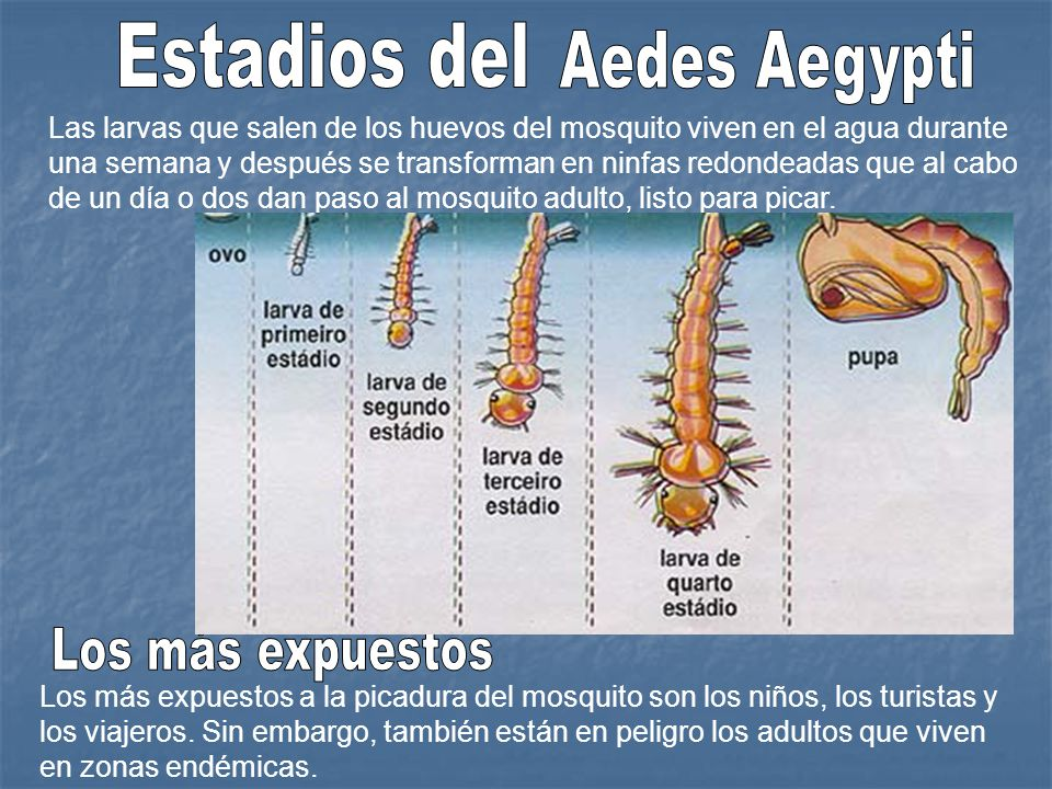 Estadios del Aedes Aegypti Los más expuestos