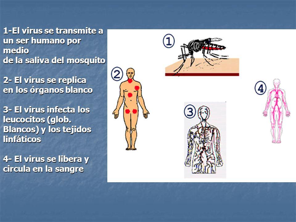 1-El virus se transmite a un ser humano por medio de la saliva del mosquito 2- El virus se replica en los órganos blanco 3- El virus infecta los leucocitos (glob.
