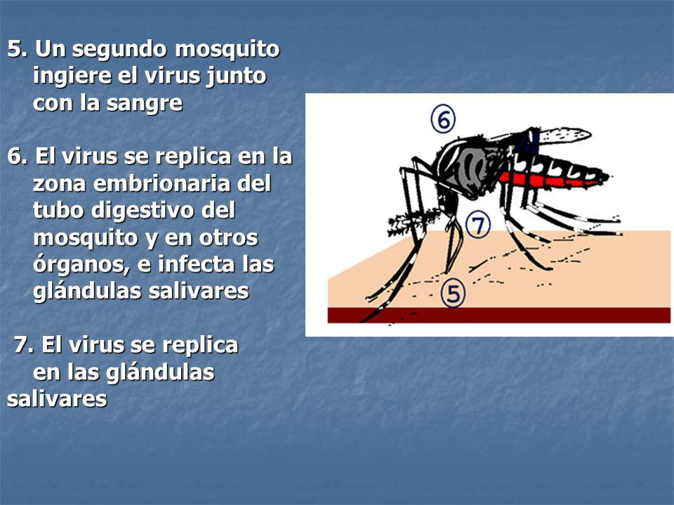 5. Un segundo mosquito ingiere el virus junto con la sangre 6