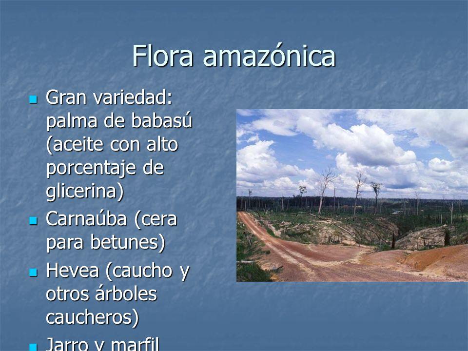 Flora amazónicaGran variedad: palma de babasú (aceite con alto porcentaje de glicerina) Carnaúba (cera para betunes)