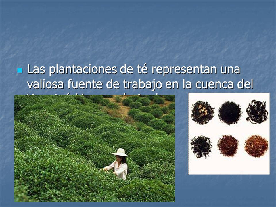 Las plantaciones de té representan una valiosa fuente de trabajo en la cuenca del Yangtsé-kiang o río Azul.