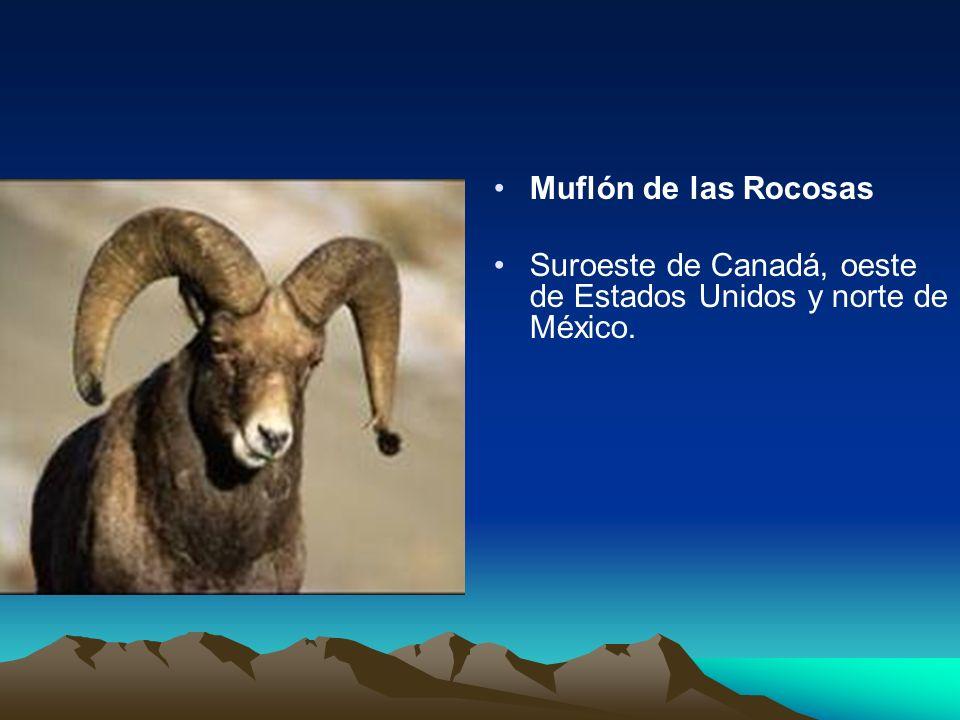 Muflón de las Rocosas Suroeste de Canadá, oeste de Estados Unidos y norte de México.