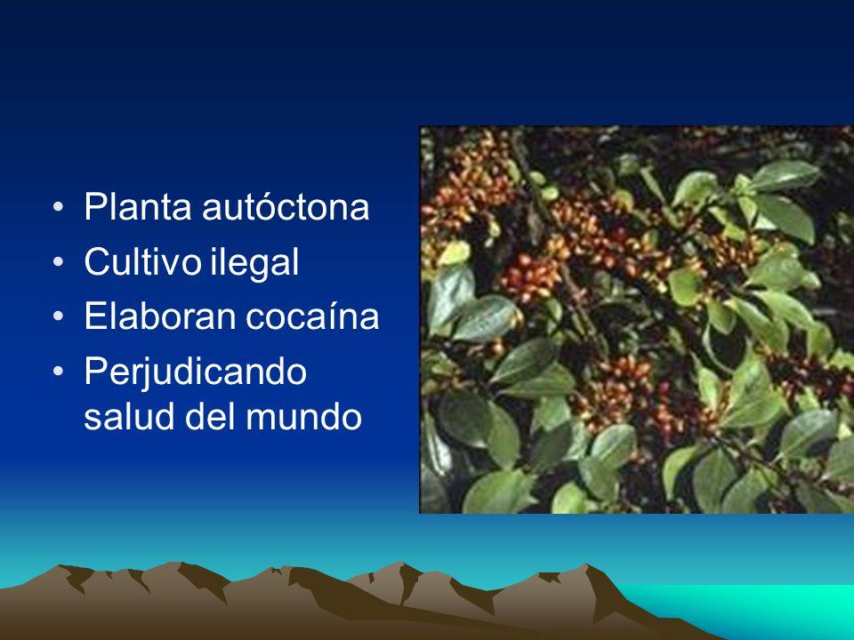 Planta autóctona Cultivo ilegal Elaboran cocaína Perjudicando salud del mundo