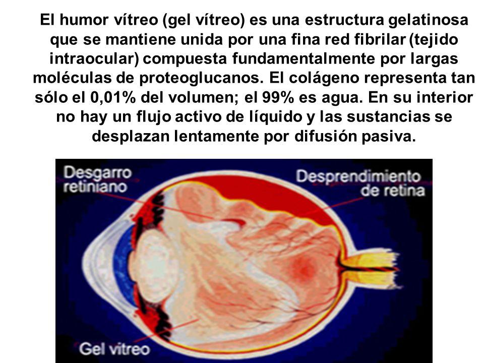 El humor vítreo (gel vítreo) es una estructura gelatinosa que se mantiene unida por una fina red fibrilar (tejido intraocular) compuesta fundamentalmente por largas moléculas de proteoglucanos.