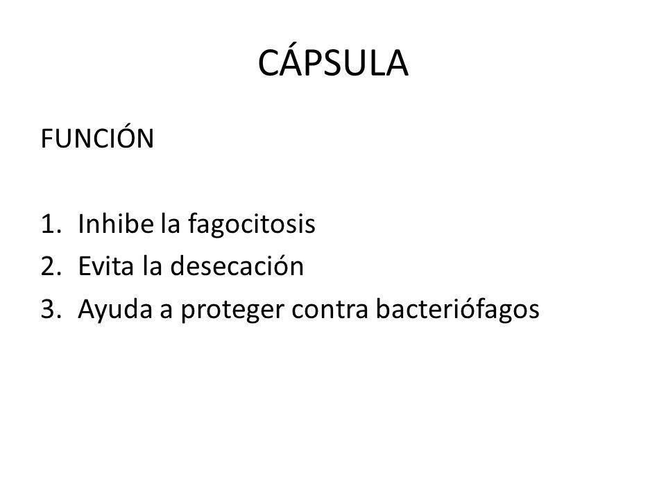 CÁPSULA FUNCIÓN Inhibe la fagocitosis Evita la desecación
