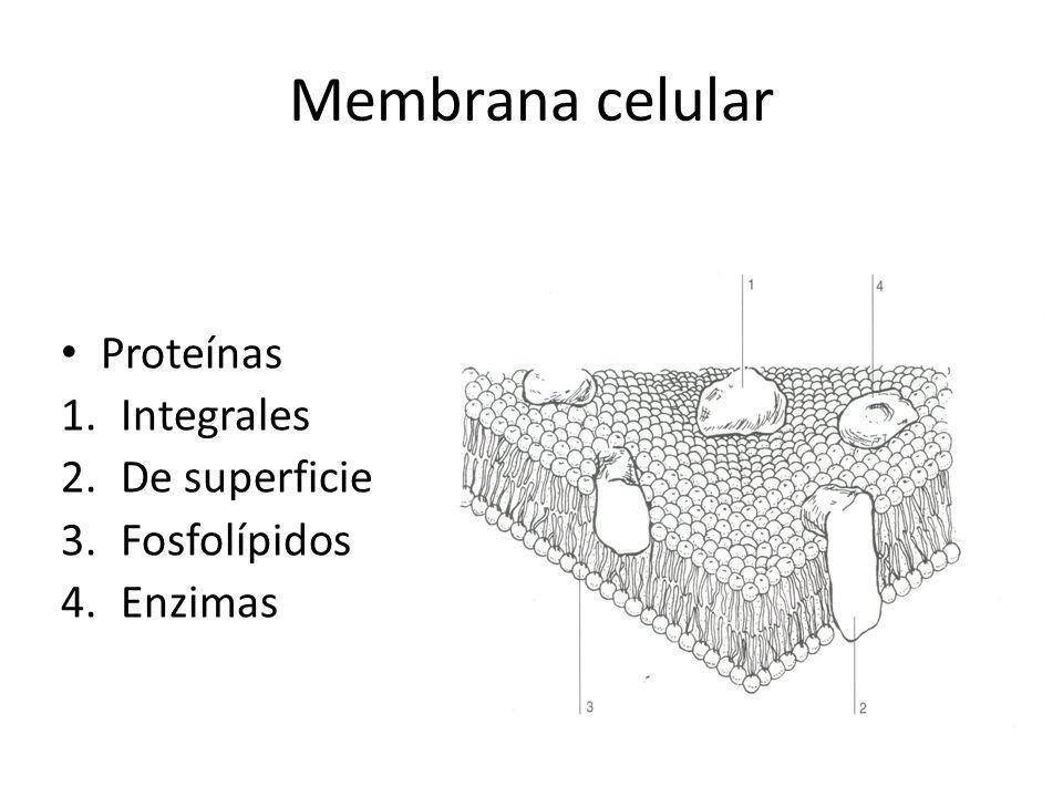 Membrana celular Proteínas Integrales De superficie Fosfolípidos