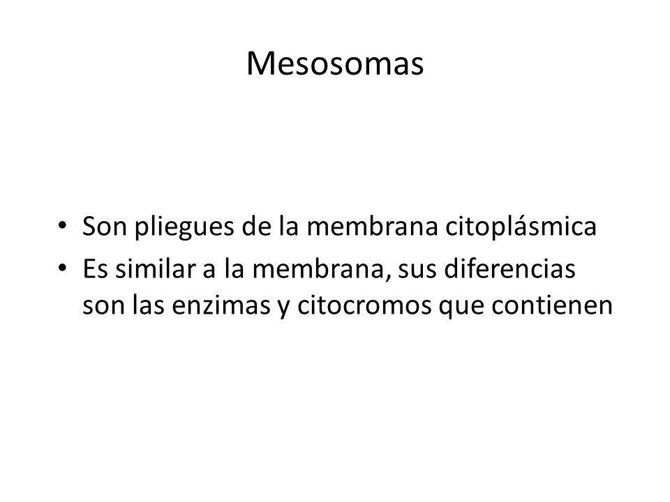 Mesosomas Son pliegues de la membrana citoplásmica