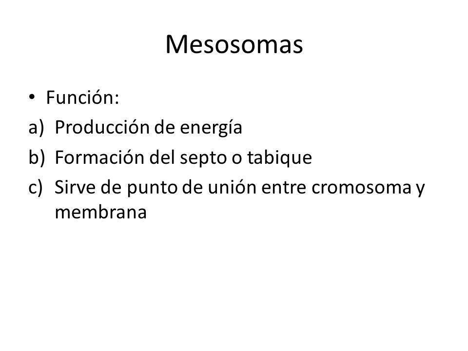 Mesosomas Función: Producción de energía Formación del septo o tabique