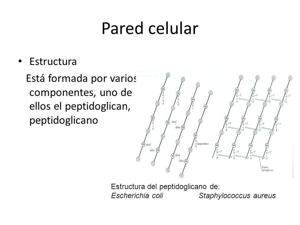 Pared celular Estructura