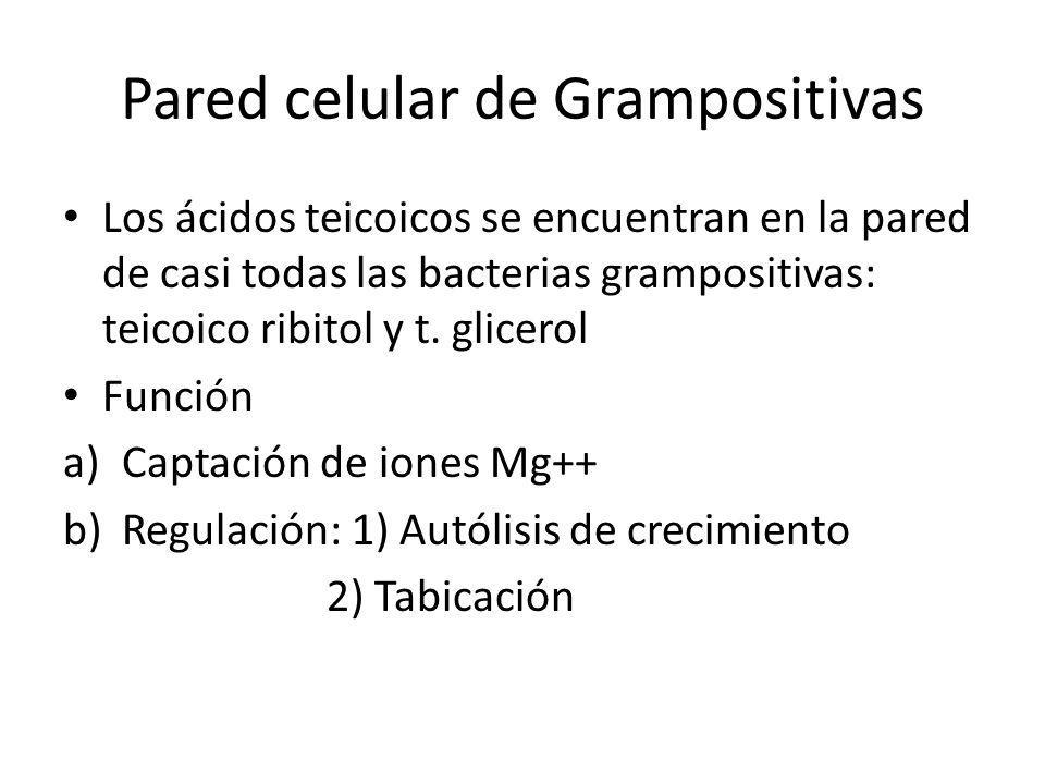Pared celular de Grampositivas
