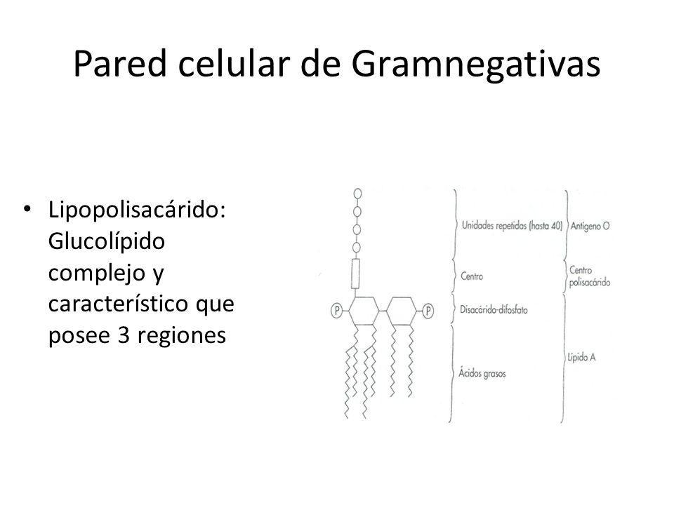 Pared celular de Gramnegativas