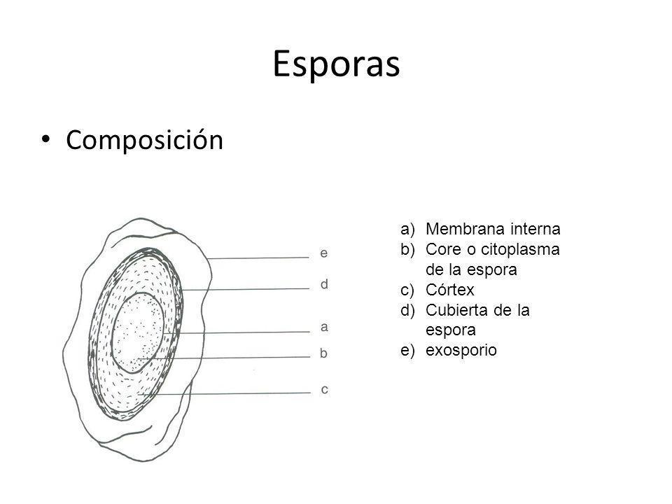 Esporas Composición Membrana interna Core o citoplasma de la espora
