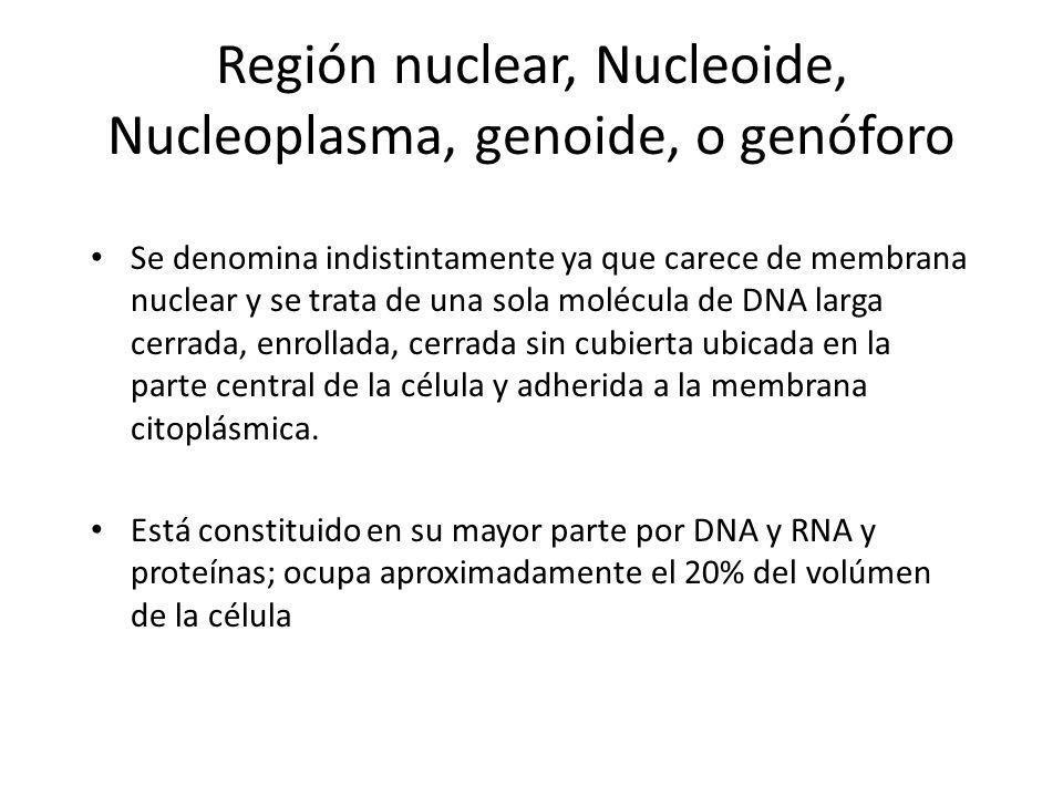 Región nuclear, Nucleoide, Nucleoplasma, genoide, o genóforo