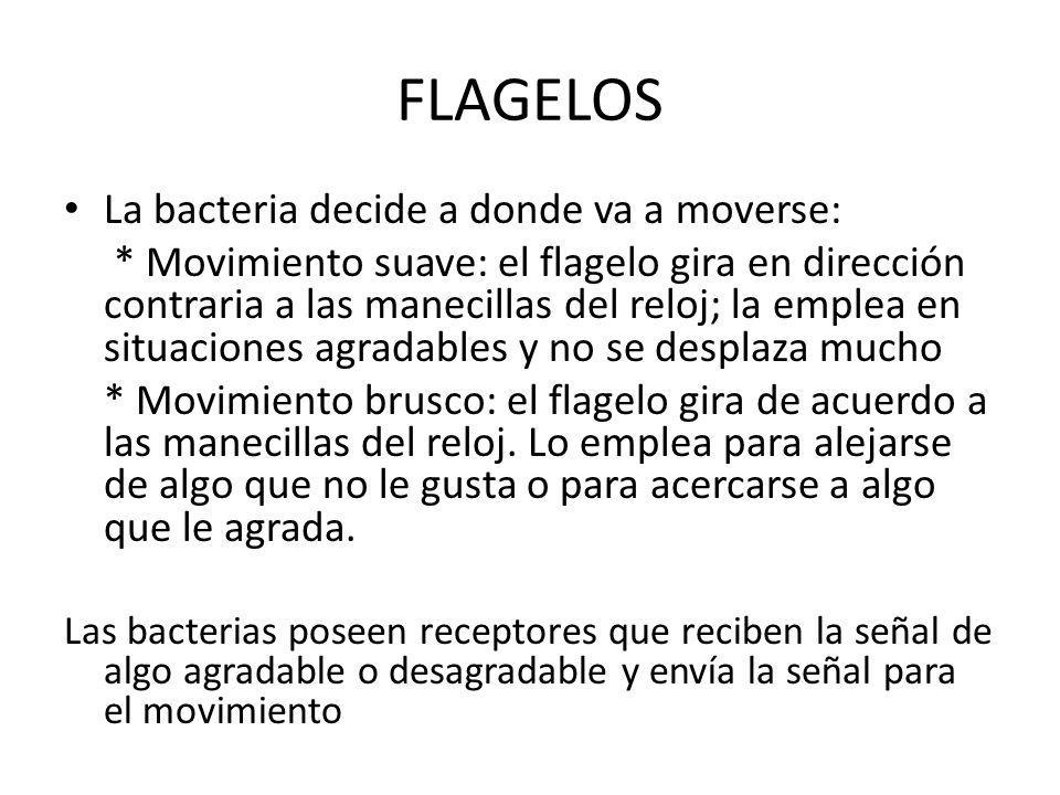 FLAGELOS La bacteria decide a donde va a moverse: