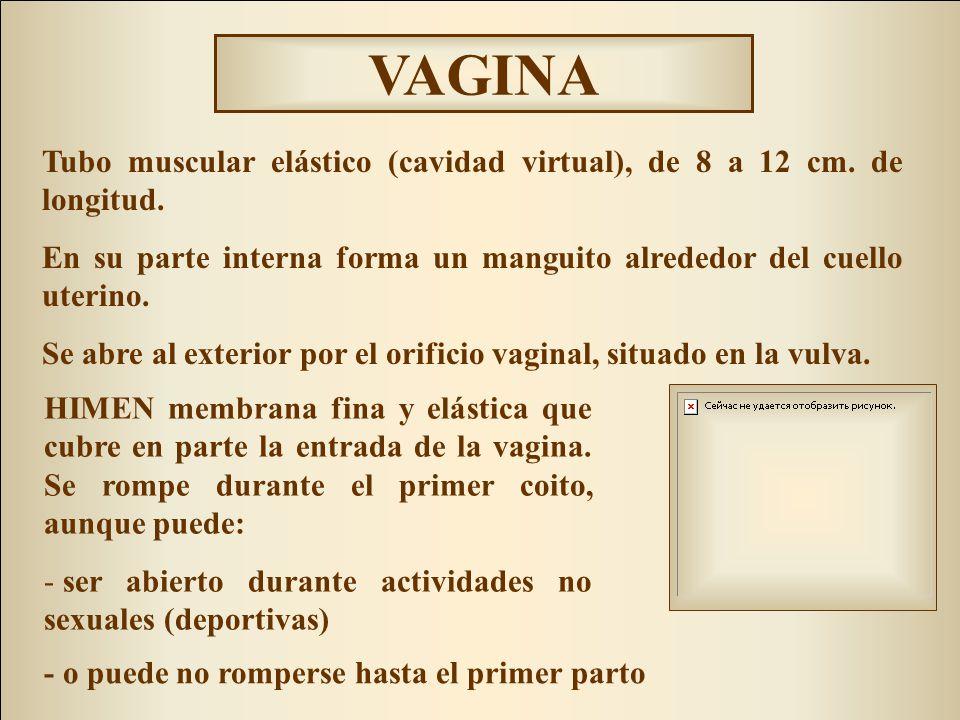 VAGINA Tubo muscular elástico (cavidad virtual), de 8 a 12 cm. de longitud. En su parte interna forma un manguito alrededor del cuello uterino.