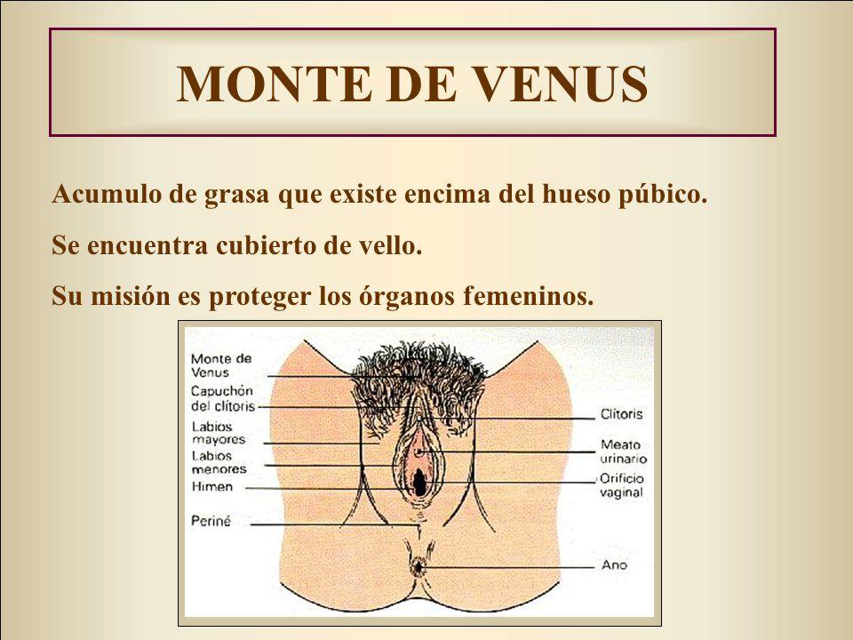 MONTE DE VENUS Acumulo de grasa que existe encima del hueso púbico.