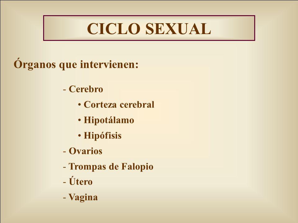 CICLO SEXUAL Órganos que intervienen: Cerebro Corteza cerebral