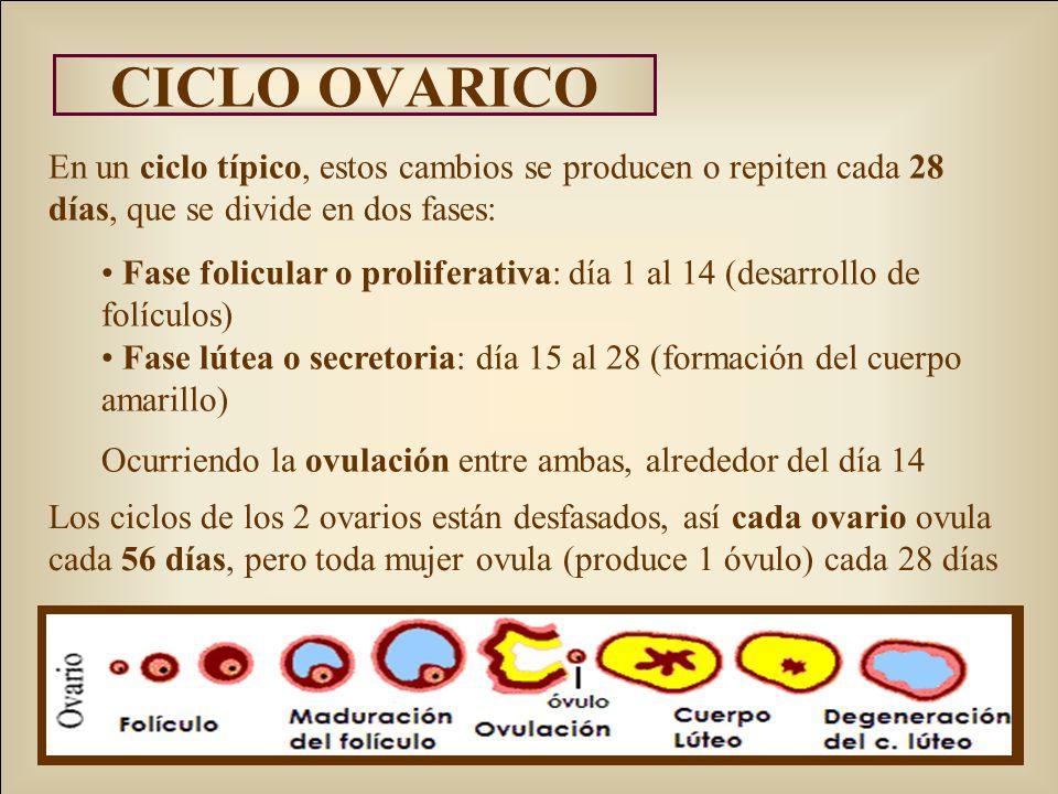 CICLO OVARICO En un ciclo típico, estos cambios se producen o repiten cada 28 días, que se divide en dos fases: